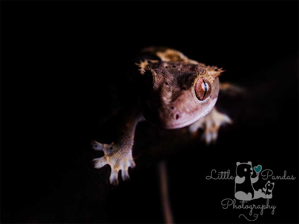 crested gecko front view